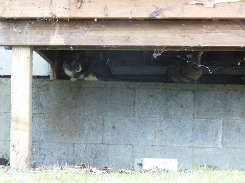 cats Dash and Ditto under the porch