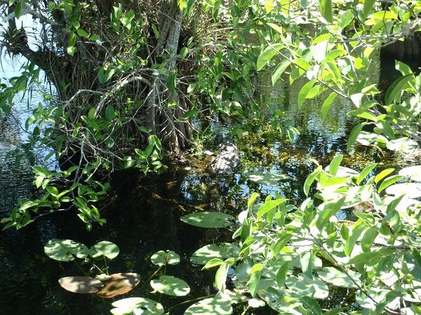 Alligator resting under a tree in Everglades National Park