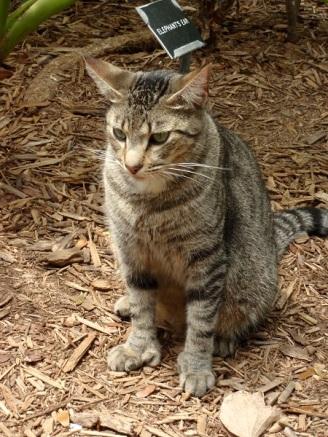 Polydactyl tabby cat at Hemingway house, Key West FL