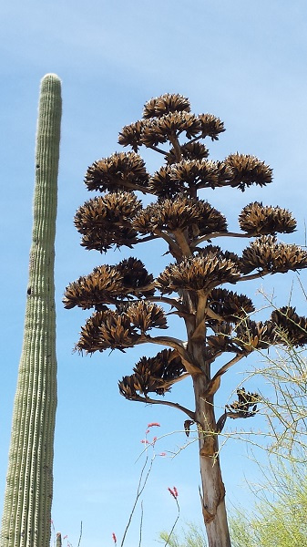 A saguaro next to a century plant (agave) in full bloom at Arizona Sonora Desert Museum.